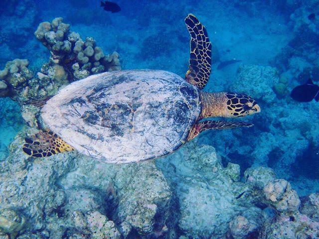 L'attribut alt de cette image est vide, son nom de fichier est tortue-aux-maldives.jpg.